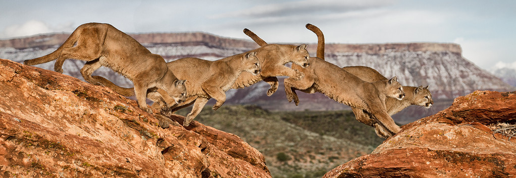 January 2013: A series of 5 shots of this cougar jumping across the rocks - blended in Photoshop