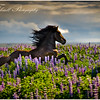 Take a gorgeous icelandic Stallion and turn him loose in a filed of wild Lupine and a stunning evening light and you have pure magic!