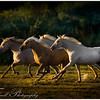 A band of young Lusitanos mares race in unison against the last of the evening light, southern France