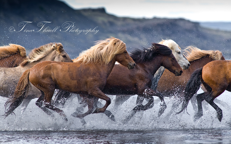 Crashing through the River Hop (pronounced Hope) near Blondous in Iceland,  these horses  are Known for their stamina and during a day of trekking, they  run for many hours with the help of short breaks in between.   As well, the Icelandic breed are great swimmers as it has been a part of their  life in Iceland for centuries.