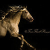 Stunning Cremello Lusitano Stallion, Southern France