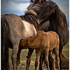 The family bond is a beautiful sight to see as this stallion connects with one of his mares while she is nursing.