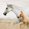 A foal runs close to his mother during some play time in the open fields near Condom, France.