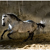 This stallion was a joy to watch as he put on a grand show for us when turned loose.  Southern France