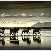 Horses galloping across  the River Hop, Iceland