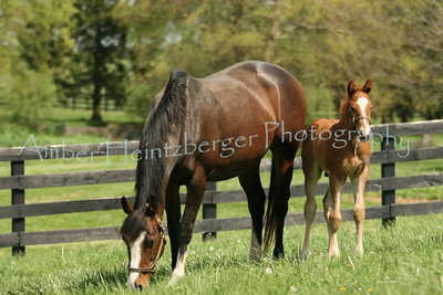 Mares and Foals 278