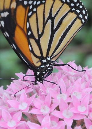Butterflies at Krohn