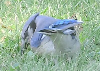180616 Blue Jay