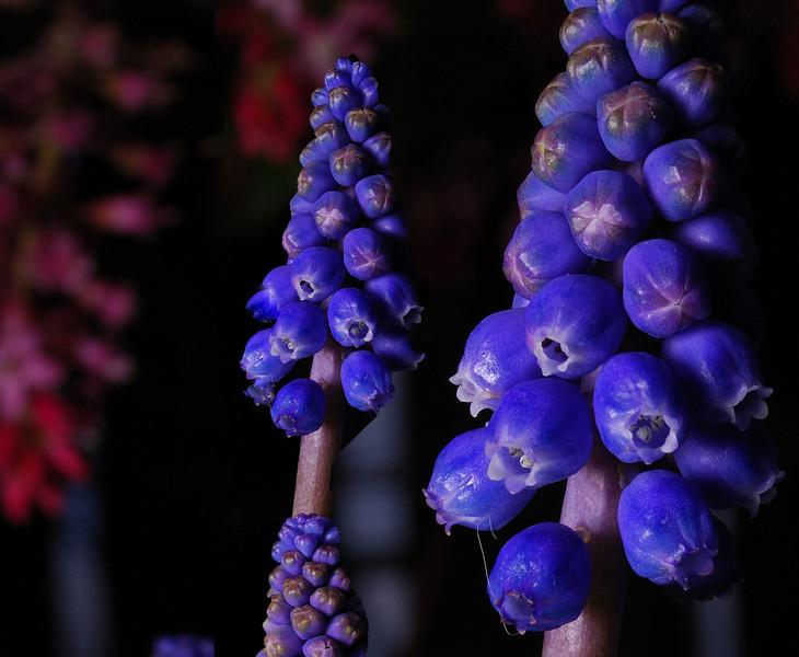 Grape Hyacinth Spring 2008