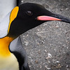 King Penguin close-up