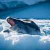 Leopard Seal Mouth Open