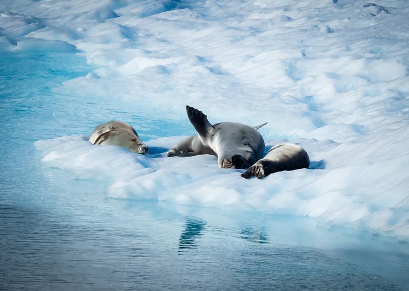 Crabeater Seals at rest