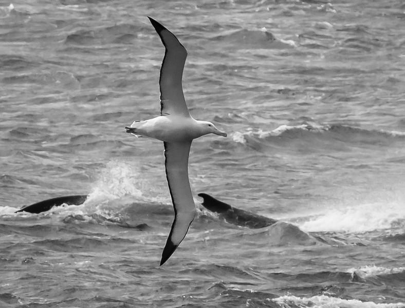 Albatross and  Humpback Whale
