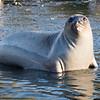 Elepthant Seal Cub