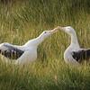 Albatross Mateing Dance