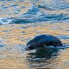 Fur Seal Cub Olympics