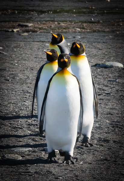 King Penguin Lineup