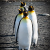 King Penguin Lineup