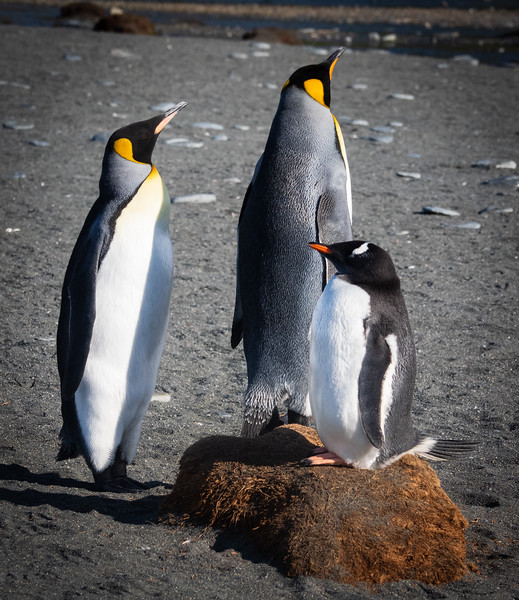 King Penguins and a Gentoo Penguin trying to be  as tall