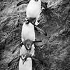 Macaroni Penguin Parade