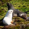 Leucustic Fur Seal Pup with mother