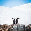Bookend Gentoo Penguins