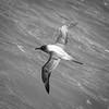 Light mantled Albatross