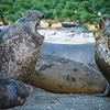 Elephant Seal Debate