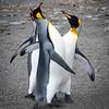 King Penguins arguing