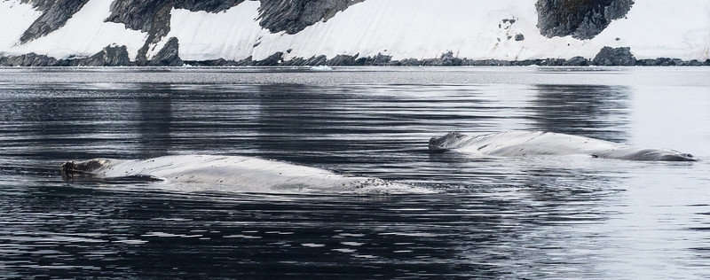 Pair of Humpbacks resting