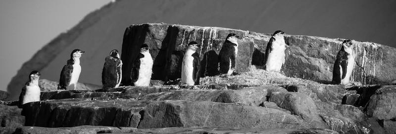 Chinstrep Penguins