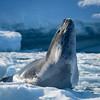Leopard Seal Pose