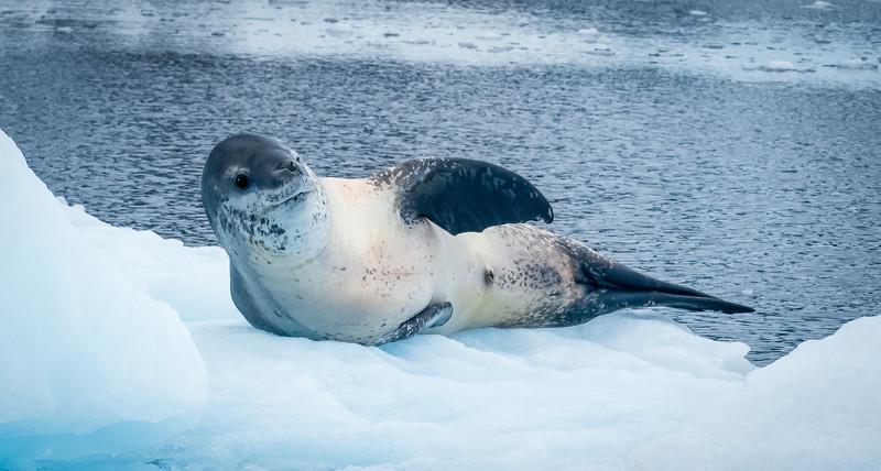 Leopard Seal Wave