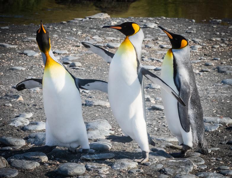King Penguin Conflict