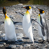 King Penguin Conflict