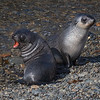 Fur Seal Cubs