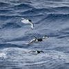 Cape Petrels trailing the ship