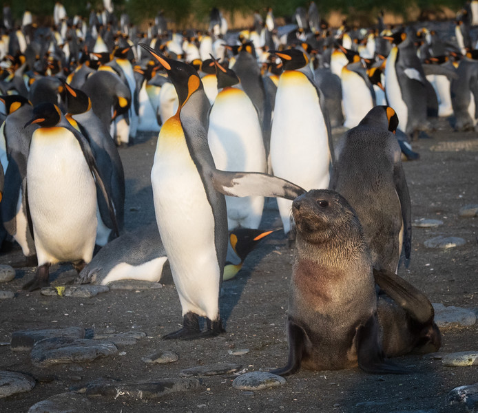 King Penguin with Fur Seal