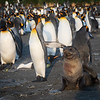 King Penguin and pet