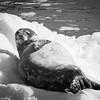 Weddell Seal