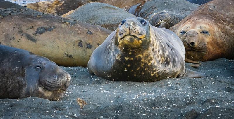 More Elephant Seals