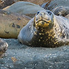 More Elephant Seals