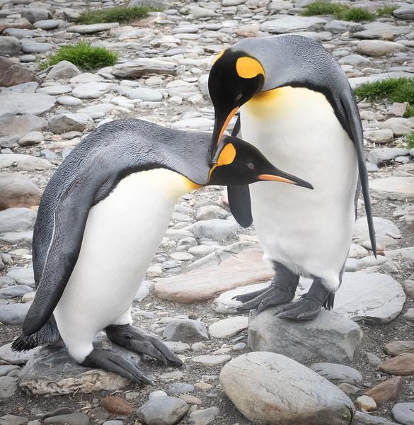 King Penguin Passion
