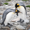 King Penguin Passion