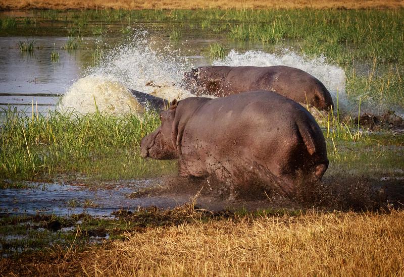 Hippo splash