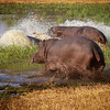 Hippo splash