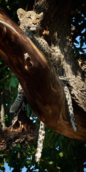 Leopard Cub hanging in tree