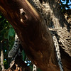 Leopard Cub hanging in tree