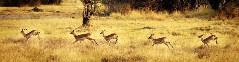 Impalas on the run