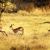 Impalas on the run